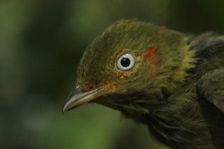 Young red-capped manakin