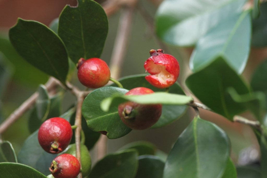 Guava fruits, partically eaten