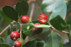 Guava fruits, partically eaten