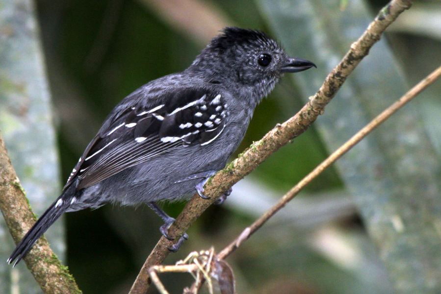 Male antshrike perched