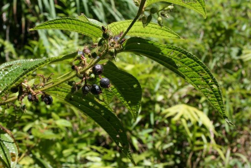 Clidemia hirta, an invasive plant