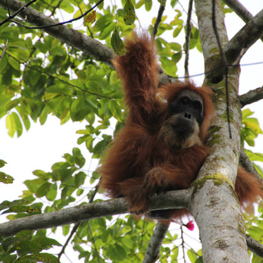 A tranquilized male orangutan, relocated by Orangutan Information Centre