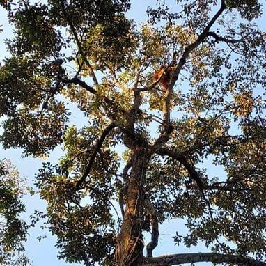 Orangutan in tree 1.jpeg