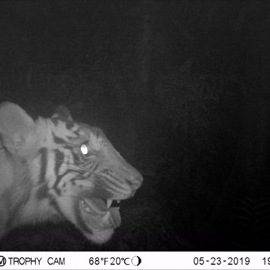 May tiger conflict 2019.JPG