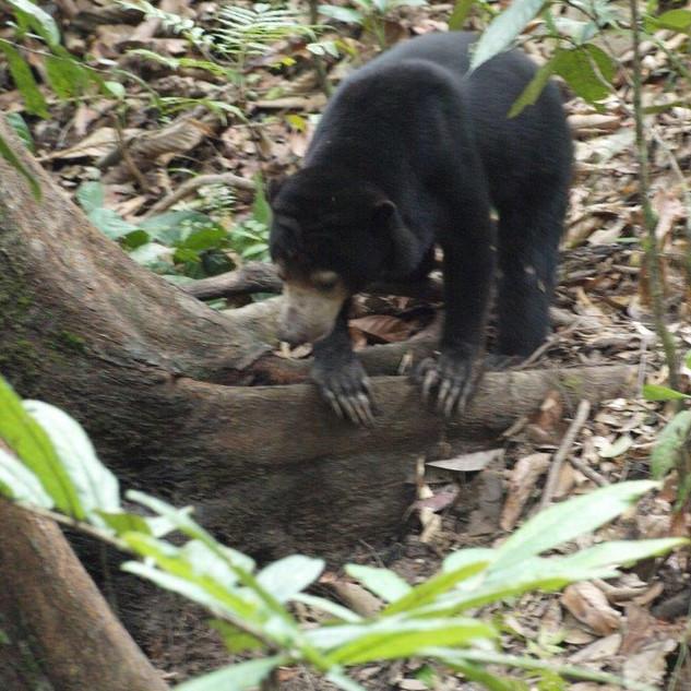 Image courtesy of Sumatran Sunbear Team