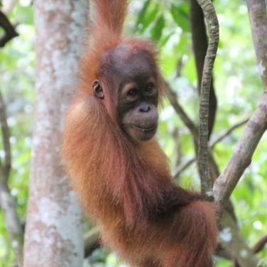 A young wild Sumatran orangutan in the Leuser Ecosystem