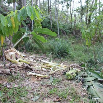 Crop damage in Sumber Waras