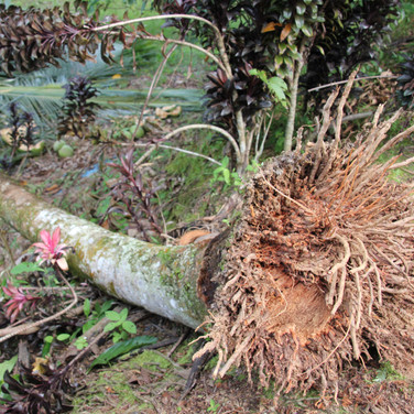 Coconut tree uprooted in Sumber Waras