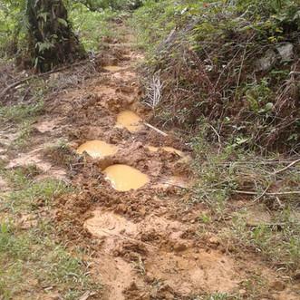 Elephant footprints along the forest edge