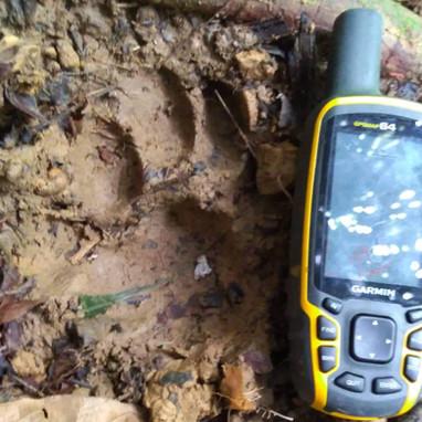 tiger footprint with GPS.jpeg