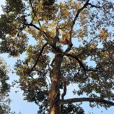 Orangutan in durian tree 2.jpeg