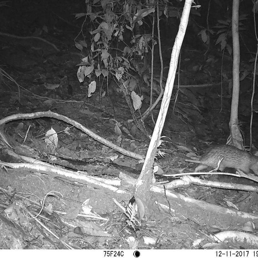 brush tailed porcupine 5