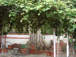 A huge Peepal tree