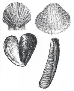 Mollusk Shells Sketch
