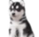 Black and White Puppy_Cropped.png
