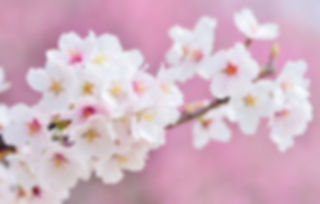 cherry-blossoms-2218781_edited.jpg