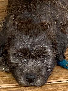 Wicklow pup.jpg