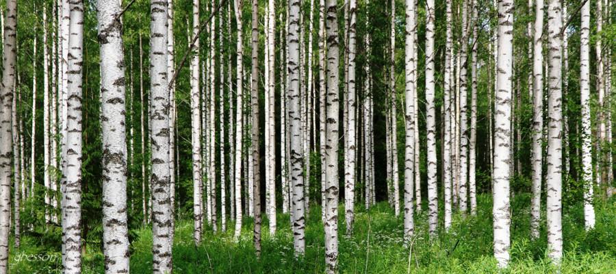 Forêt de bouleaux en Finlande, été 2018.