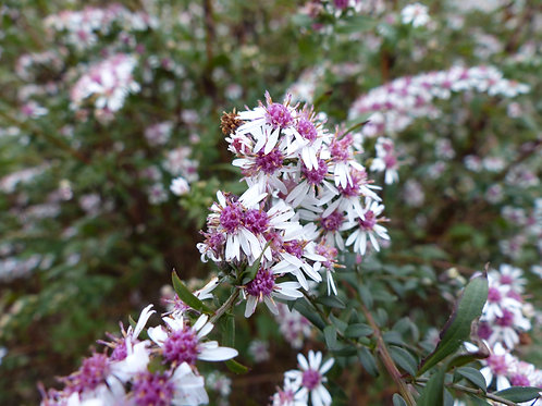 Aster 'Lady in Black'