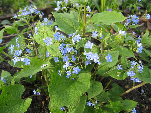Brunnera macrophylla 'Green Leaf'