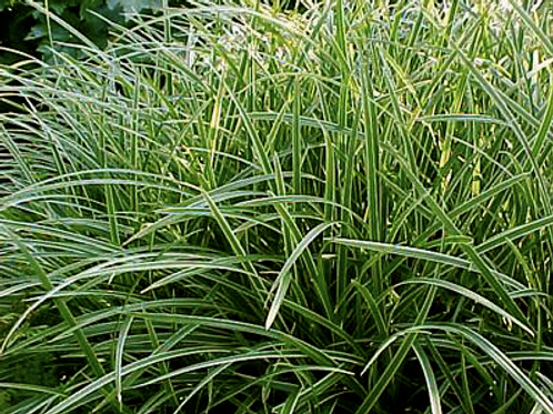 Carex 'Island Brocade'