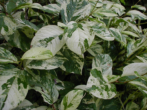 Persicaria virginiana 'White Splendour'