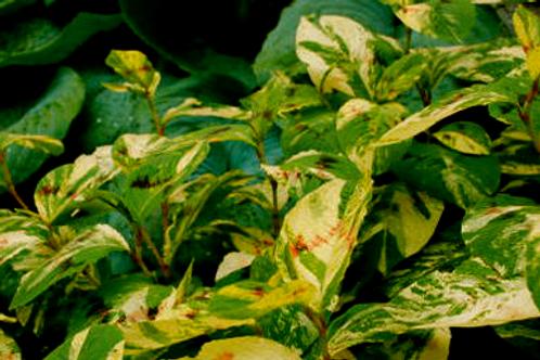 Persicaria virginiana 'Painters Palette'
