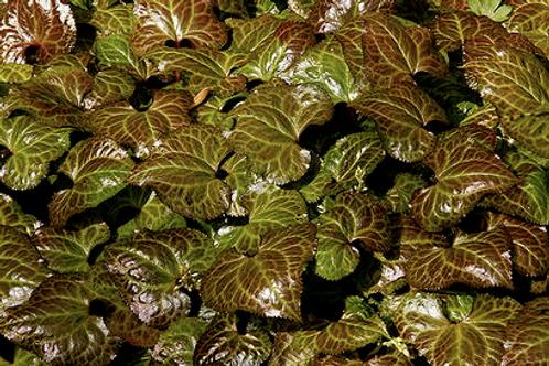Beesia calthaefolia