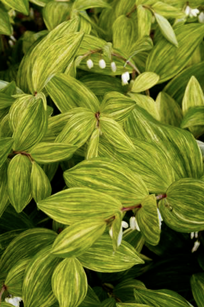 Disporum sessile 'Sunray'