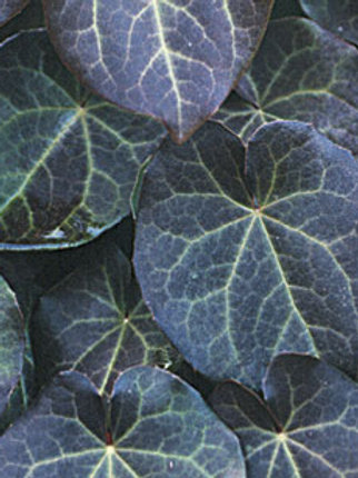 Epimedium pinnatum ssp. colchicum 'Thunderbolt'