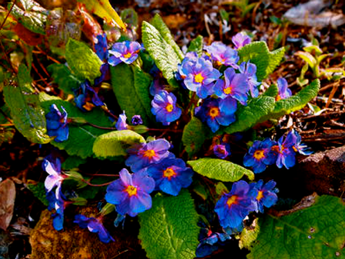 Primula 'Purple Riband'