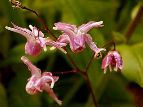 Epimedium youngianum 'Jenny Wren'
