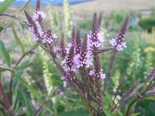 Verbena hastata 'Pink Spires'