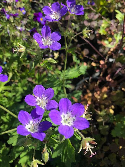 """Geranium sylvaticum 'Amy Doncaster"""""""
