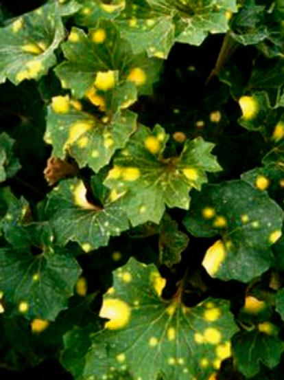 ligularia 'Kogami Jish' (AKA 'Crested Leopard')