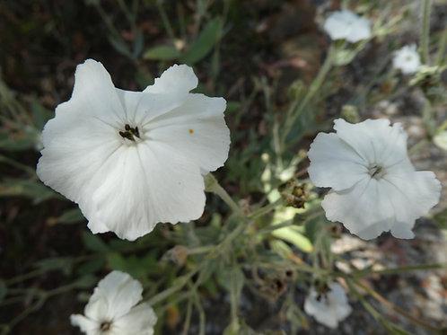 Lychnis coronia 'Alba'