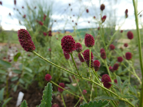 Sanguisorba 'St Philibert'