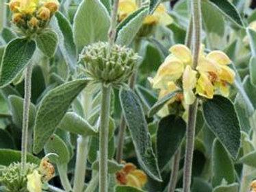 Phlomis ' Lemon Blush'