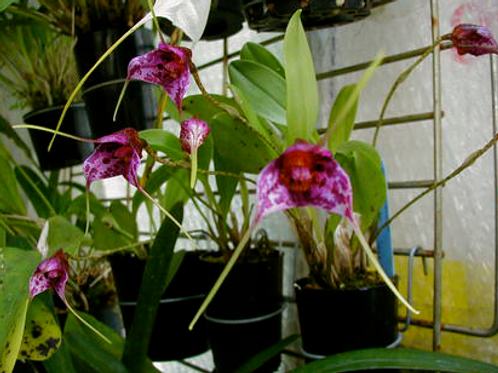 Masdevallia chaparensis 'Rip Hoff' AM/AOS