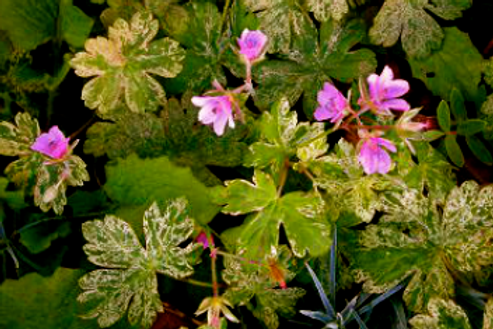 Geranium thunbergii 'Jester's Jacket'