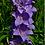 Thumbnail: Campanula latiloba 'Blue/lavender'