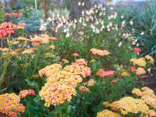 Achillea x millefolium  'Forncett Fletton'