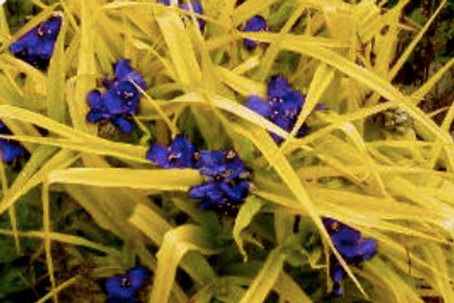 Tradescantia 'S.K's Blue and Gold'