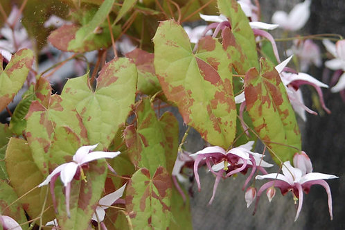 Epimedium sutchenense