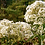 Thumbnail: Eupatorium maculatum 'Joe White'