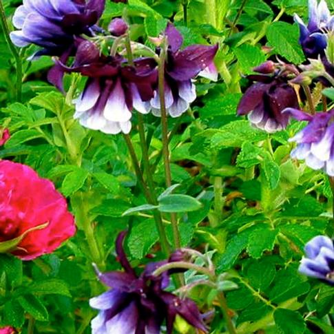 Aquilegia  vulgaris 'Mixed Hybrids'