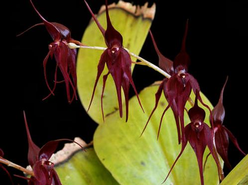 Pleuro. Phalangifera