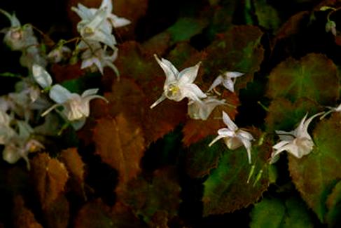 Epimedium trifoliatobinatum