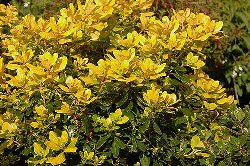 Escallonia laevis 'Hopleys Gold'