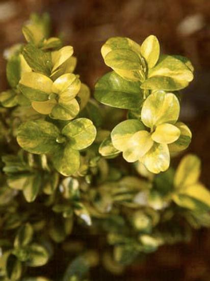 Buxus sempervirens latifolia 'Maculata'